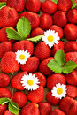Strawberries with daisy flowers food background fresh red berries Royalty Free Stock Image