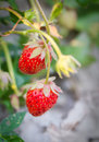 Strawberries in farm agriculture concept and food Stock Photography