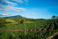 Strawberries farm garden mountain background Stock Photo