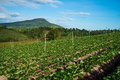 Strawberries farm garden mountain background Royalty Free Stock Photography