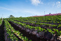 Strawberries farm garden mountain background Royalty Free Stock Image