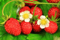 Strawberries with flowers macro Stock Photo