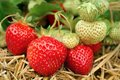 Strawberries growing Stock Photo