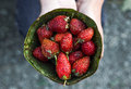 Strawberries in Leaf Bowl Royalty Free Stock Photo