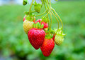 Strawberries in orchard ready to be plucked straight from Stock Photos