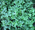 Strawberries plants outdoors photography of green bushes of a strawberry Stock Photo