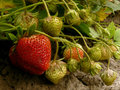 Strawberries ripening in a garden Royalty Free Stock Photography