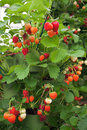 Strawberries strawberry bush in a garden Royalty Free Stock Photo