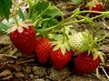 Strawberries strawberry fruits ripening on the branch Royalty Free Stock Images