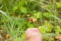 Strawberries wild twigs hand picking close up grass background