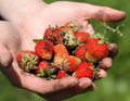 Strawberries woman hands holding dirty Royalty Free Stock Images