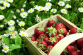Strawberry basket at garden Royalty Free Stock Photo