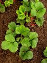 Strawberry bed plants ready to bloom after rain Stock Photos