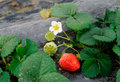 Strawberry the blossom and fruit Royalty Free Stock Images