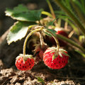 Strawberry on branch Royalty Free Stock Photo