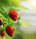 Strawberry on the branch Royalty Free Stock Photo