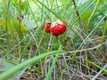 Strawberry on a branch in the grass Royalty Free Stock Photo