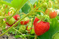 Strawberry bush in the garden growing Stock Photography