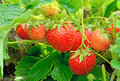 Strawberry bush growing in the garden Royalty Free Stock Photos