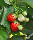 Strawberry bush with red berries and green leaves Royalty Free Stock Image