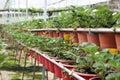 Strawberry Farm 01
