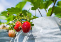 Strawberry farm the organic in thailand Royalty Free Stock Photography