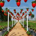 Strawberry field in buriram thailand fruit farm nature sky Royalty Free Stock Images