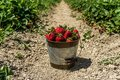 Strawberry field on farm fresh ripe strawberry in bucket next to strawberries bed Royalty Free Stock Photo