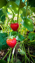Strawberry Field with Ripe strawberries as background Royalty Free Stock Photo