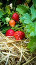 Strawberry Field with Ripe strawberries Royalty Free Stock Photo