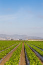 Strawberry field in salinas valley california Stock Photography
