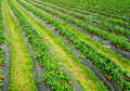 Strawberry fields Royalty Free Stock Photo