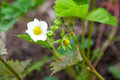 Strawberry flower beautiful white small Stock Photography