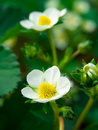 Strawberry flower in early spring Royalty Free Stock Photo