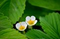 Strawberry flower the flowers are opening it s a Royalty Free Stock Photography