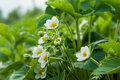 Strawberry flower in the garden Royalty Free Stock Photos