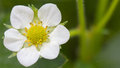 Strawberry flower macro of a on a green background Stock Photography