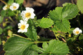 Strawberry flower organic in spring home garden Stock Images