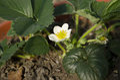 Strawberry flower in spring home garden Stock Photos