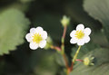 Strawberry flower view of white Royalty Free Stock Photography