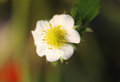 Strawberry flower view of white Stock Images