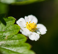 Strawberry flower white and green leaf Royalty Free Stock Photos