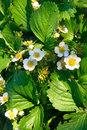 Strawberry flowers Royalty Free Stock Photos
