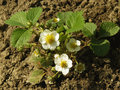 Strawberry flowers flowering plant in springtime Stock Photo