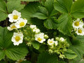 Strawberry flowers plants flowering in the garden Royalty Free Stock Photo