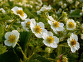 Strawberry flowers plenty of beautiful Royalty Free Stock Photo