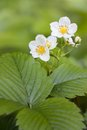 Strawberry flowers white of wild strawberries on a green background Royalty Free Stock Photos