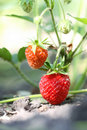 Strawberry in the garden Royalty Free Stock Images