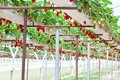 Strawberry garden Royalty Free Stock Photo