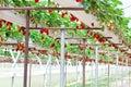 Strawberry garden Stock Image